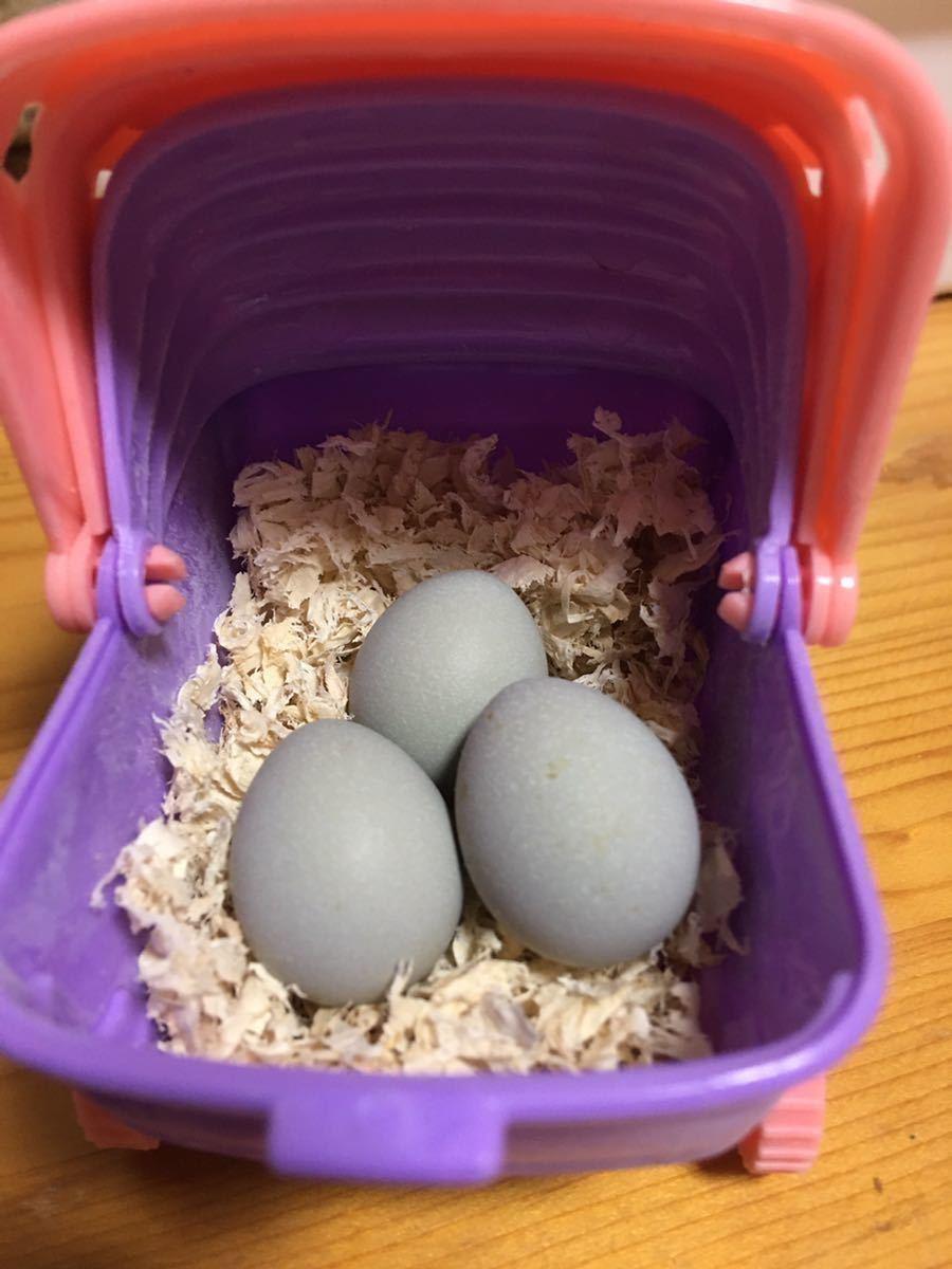 ヒメウズラ 有精卵 各色7個 ミックス 白姫 シルバー系 茶系 黒系 姫うずら 種卵 2セット出品!_画像8