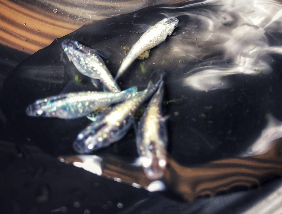 黒ラメ幹之メダカ有精卵 15個+α メダカ めだかの卵たまご_画像1