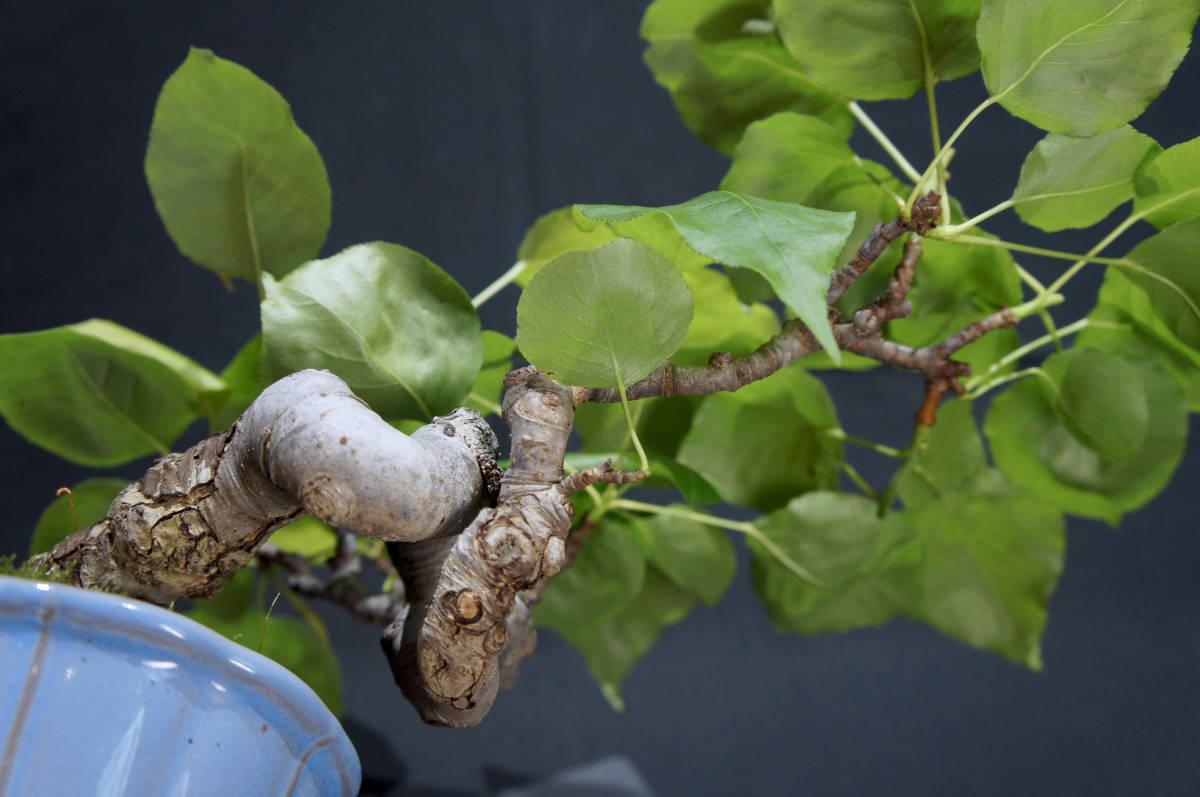 梨 アイナシ 盆栽 奥行28cm 横幅39cm 高さ24cm_画像9