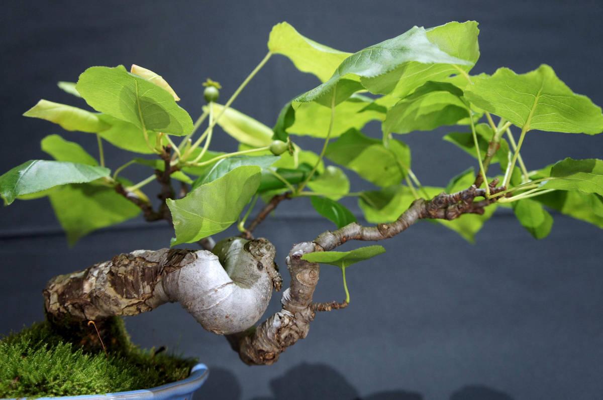 梨 アイナシ 盆栽 奥行28cm 横幅39cm 高さ24cm_画像5