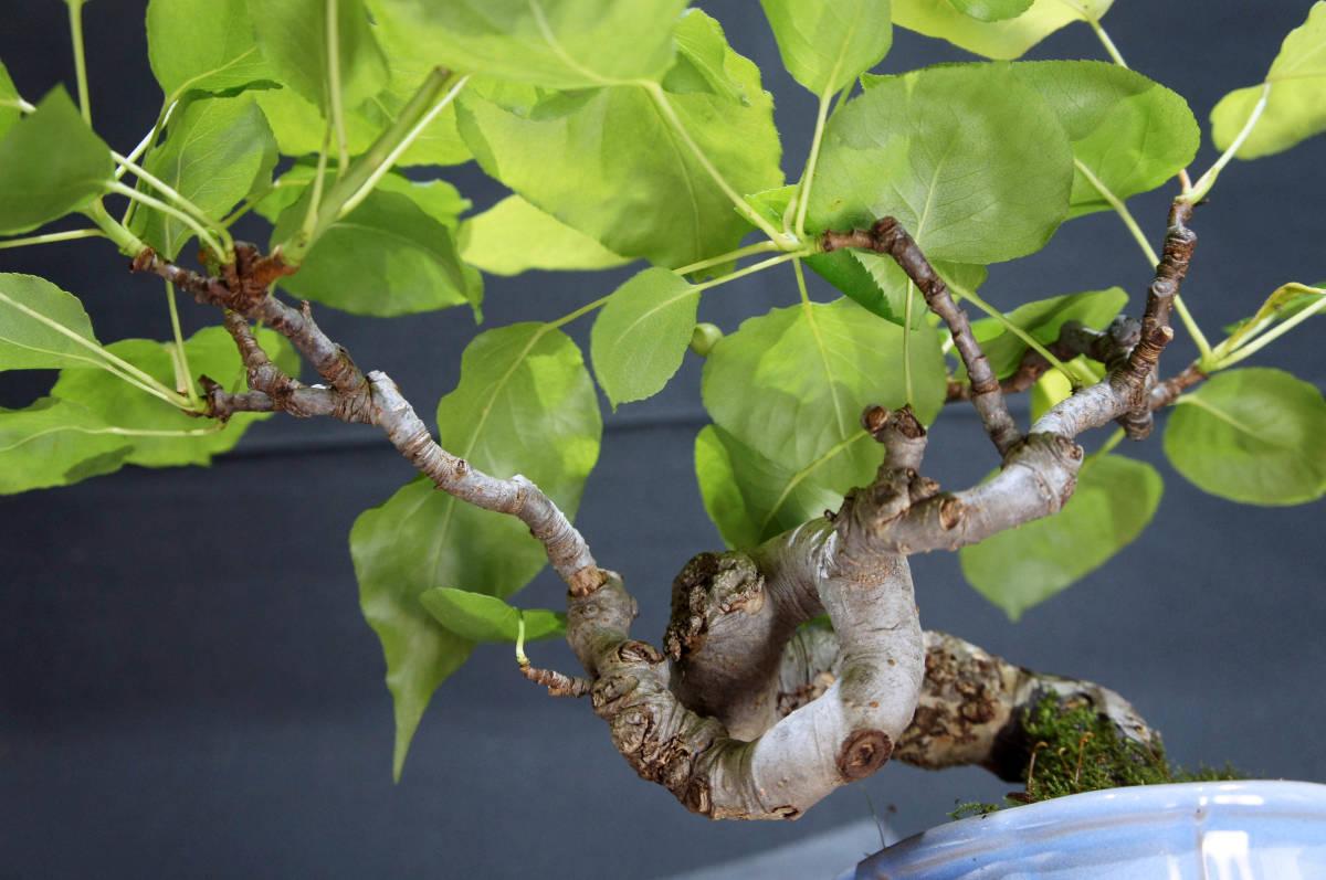 梨 アイナシ 盆栽 奥行28cm 横幅39cm 高さ24cm_画像8