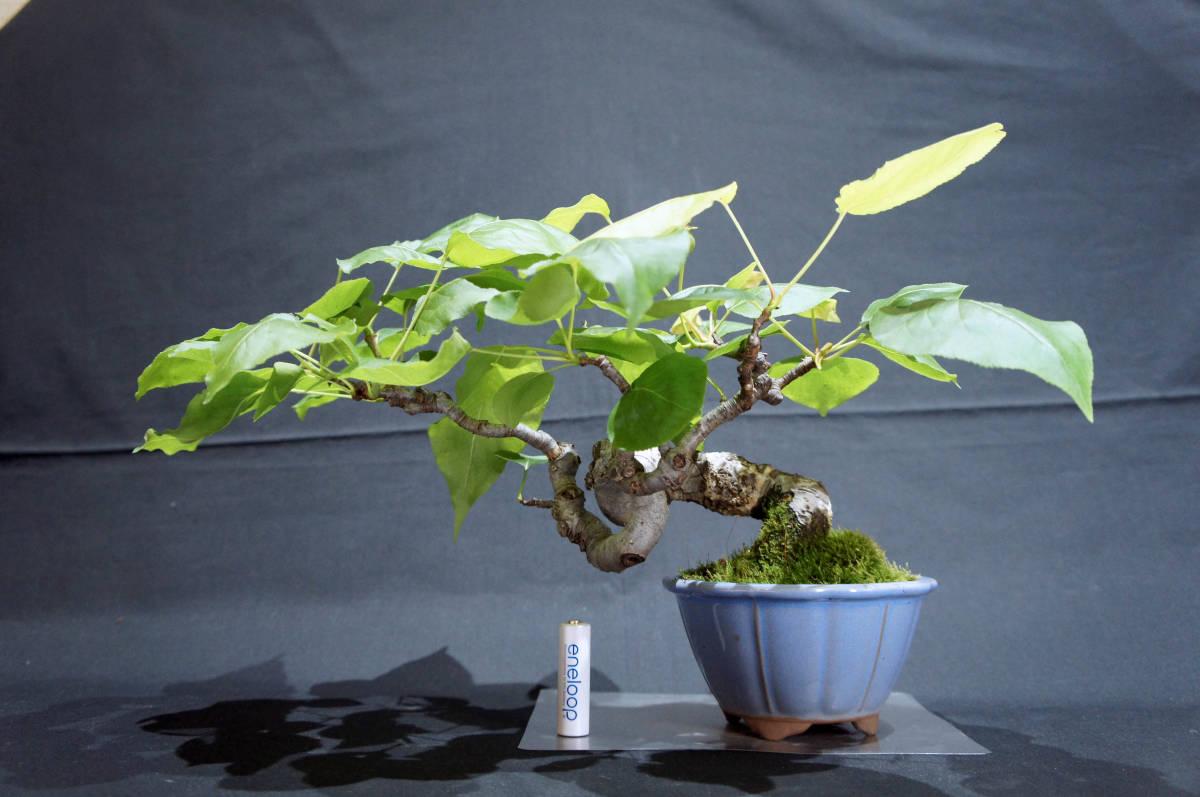 梨 アイナシ 盆栽 奥行28cm 横幅39cm 高さ24cm_画像1
