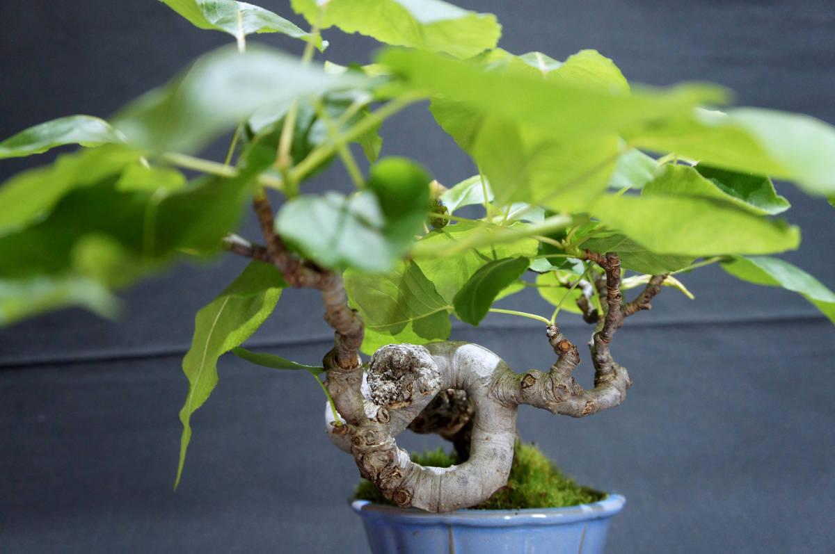 梨 アイナシ 盆栽 奥行28cm 横幅39cm 高さ24cm_画像7