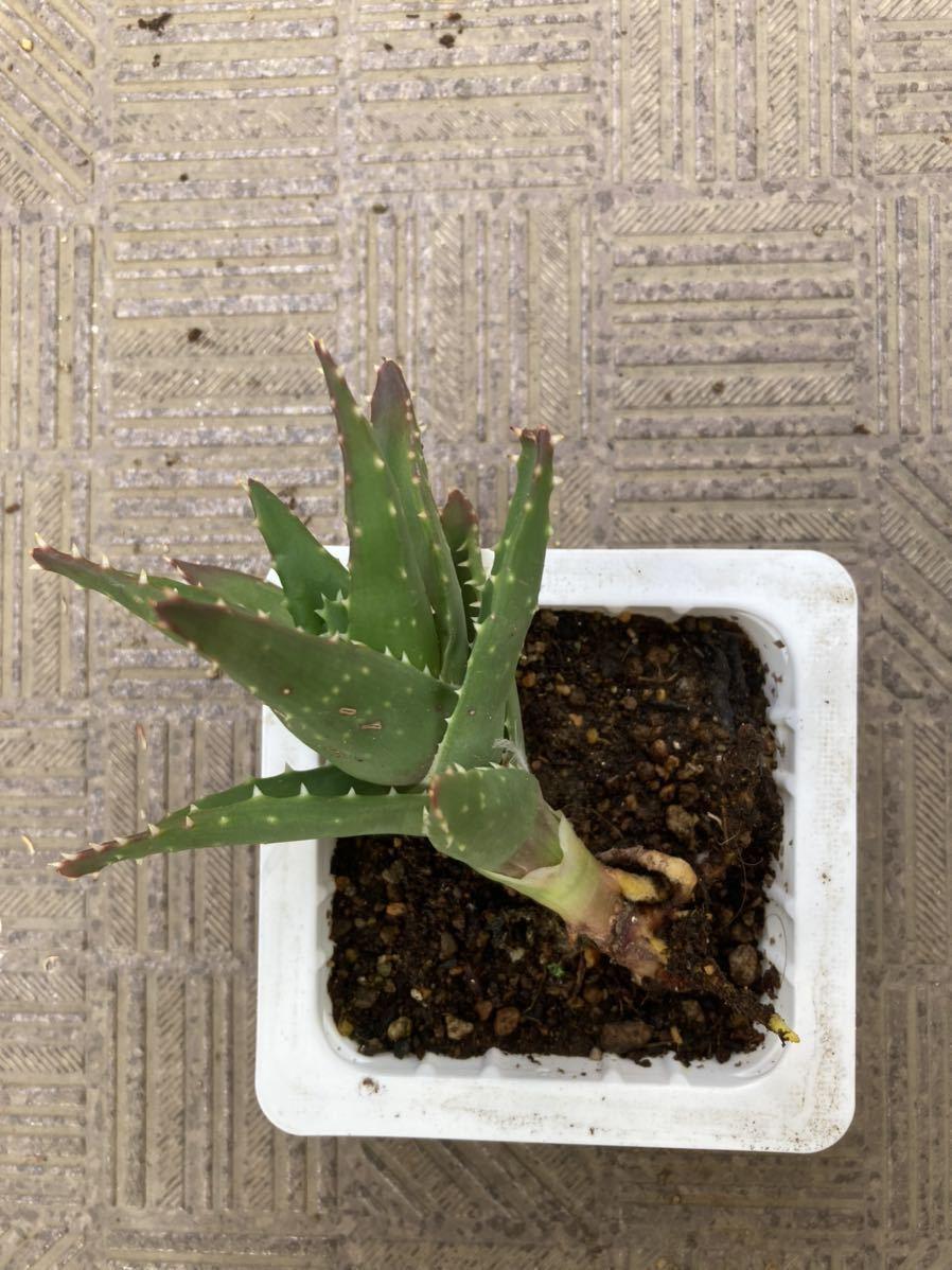 多肉植物 アロエ 1株