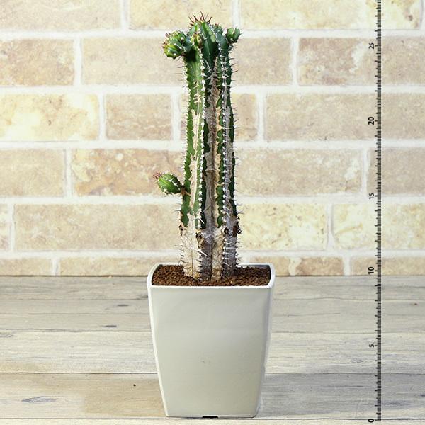 【大正キリン】 ユーフォルビア エキヌス SQ 3.5号 7 【大正麒麟 エキナス】 Euphorbia echinus (多肉植物・塊根植物 コーデックス)_画像4