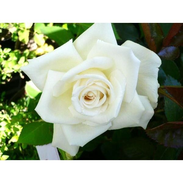 ★バラ苗★木立・四季★ メイスポーラ ◎花つきが大変良い切花向きの品種です♪ 大株SC6-27