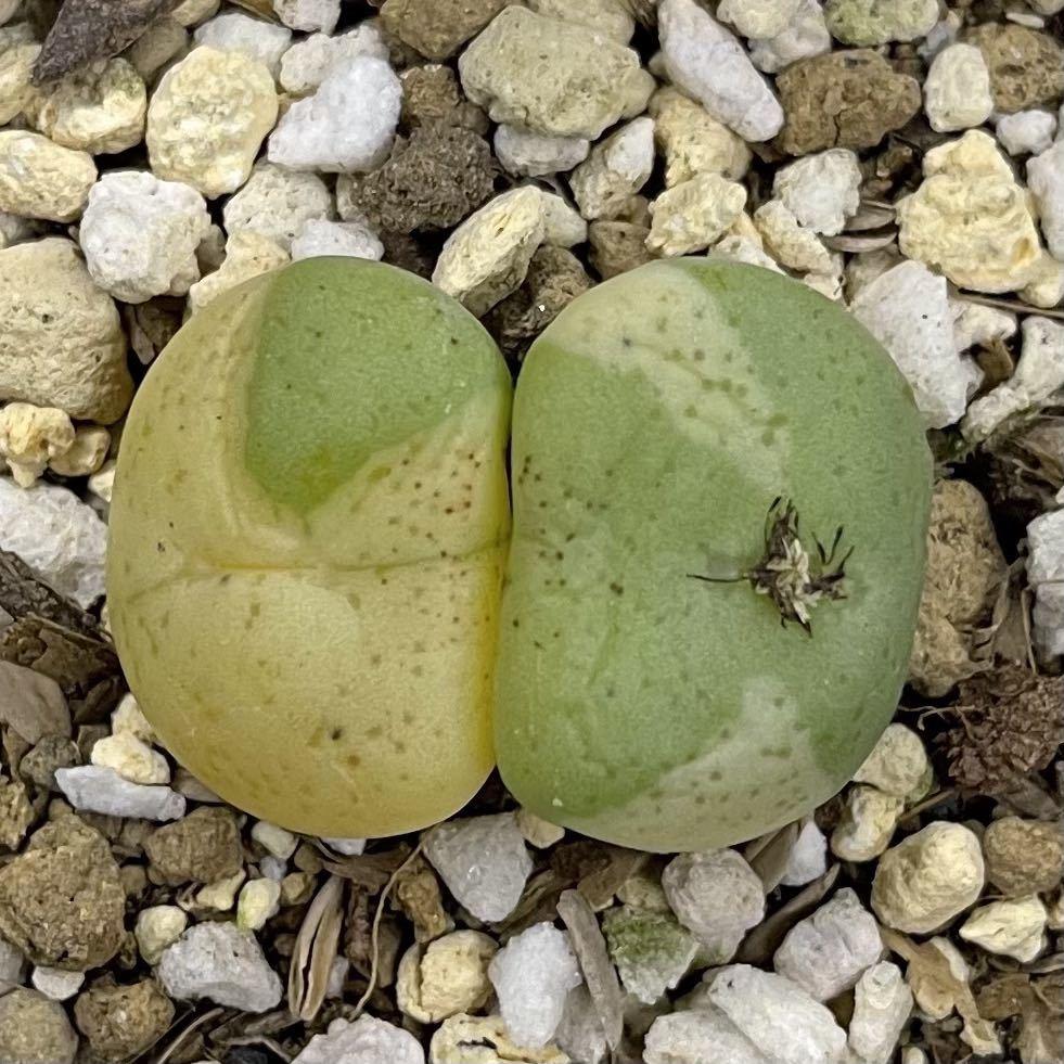 【目髙ノ雫】 トランカータム バリエガータ truncatum variegata コノフィツム 多肉植物
