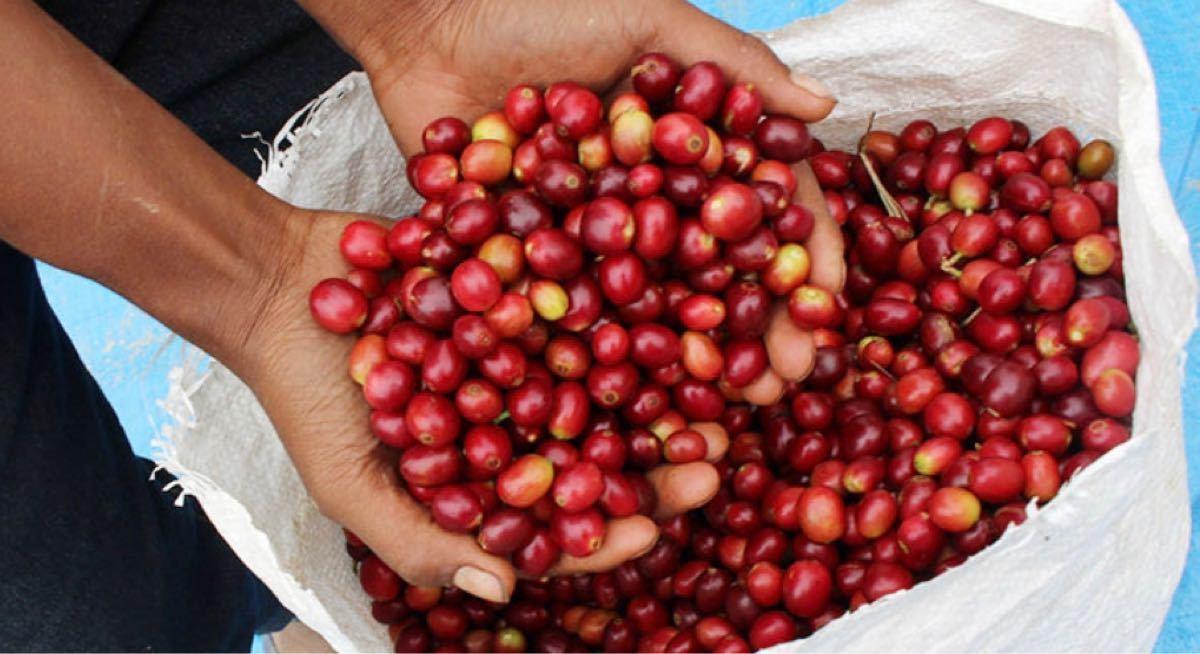 【自家焙煎】フェアトレード オーガニックコーヒー 東ティモールコカマウ 中深煎り焙煎豆 100g