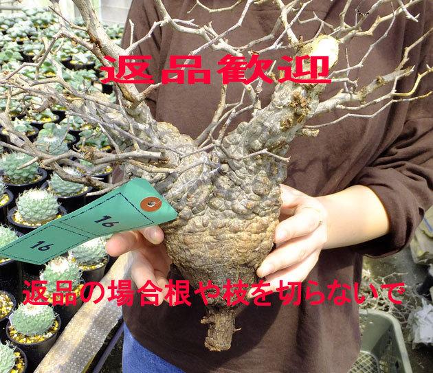 サボテン?多肉植物 16 パキプス未発根 オペルクリカリア