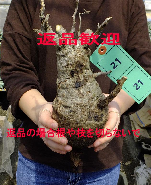 サボテン?多肉植物 21 パキプス未発根 オペルクリカリア