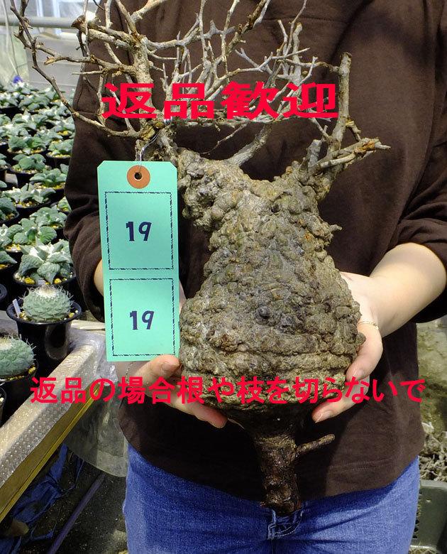 サボテン?多肉植物 19 パキプス未発根 オペルクリカリア