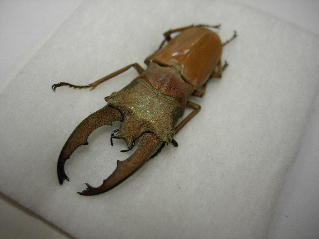 昆虫標本★ボルネオ産ルニフェルホソアカクワガタ♂40.5ミリ_画像1