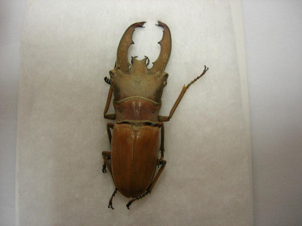 昆虫標本★ボルネオ産ルニフェルホソアカクワガタ♂40.5ミリ_画像3