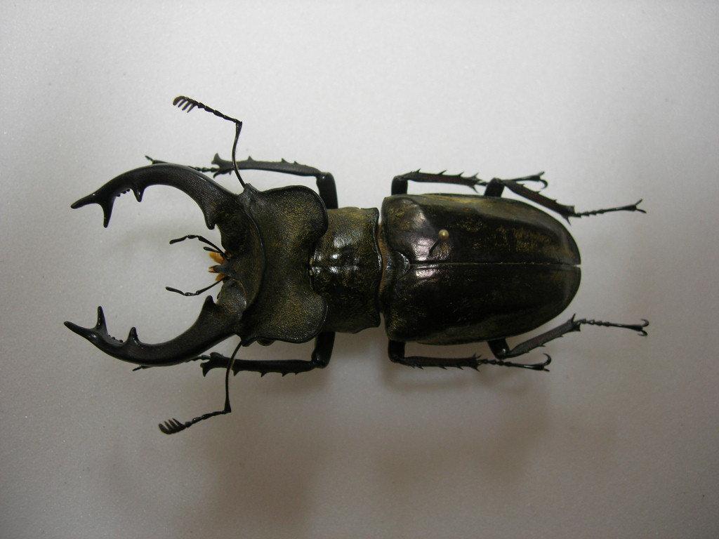昆虫標本★極太特大美個体★雲南省産ナンサーミヤマクワガタ♂73ミリ_画像2