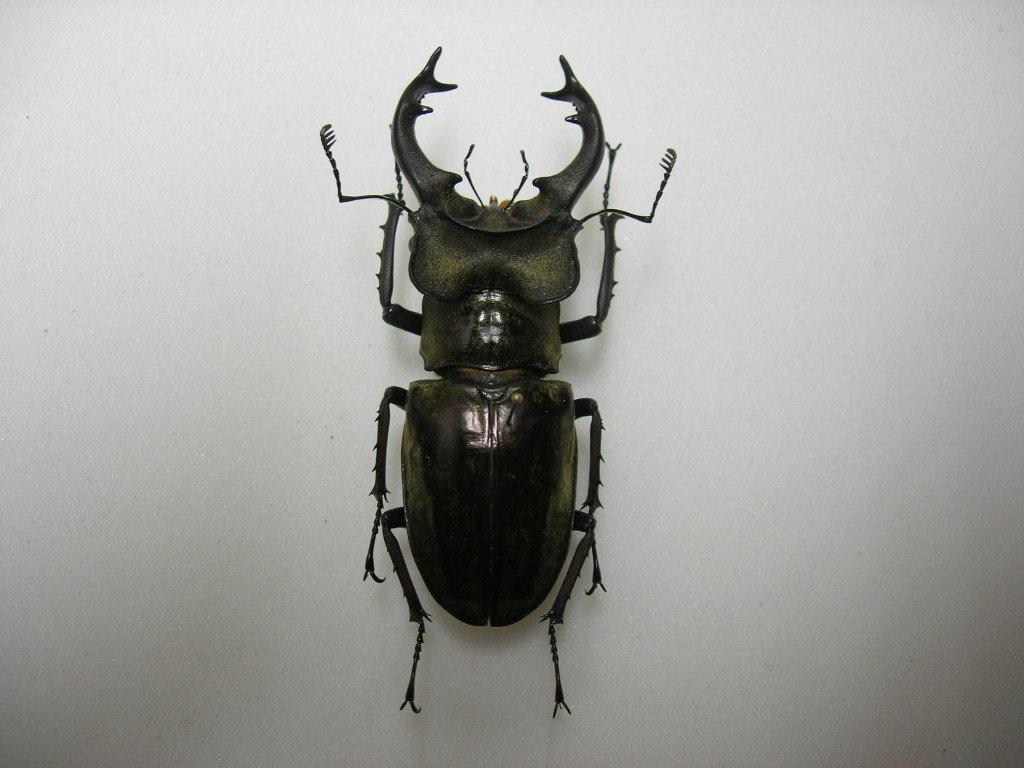 昆虫標本★極太特大美個体★雲南省産ナンサーミヤマクワガタ♂73ミリ_画像3