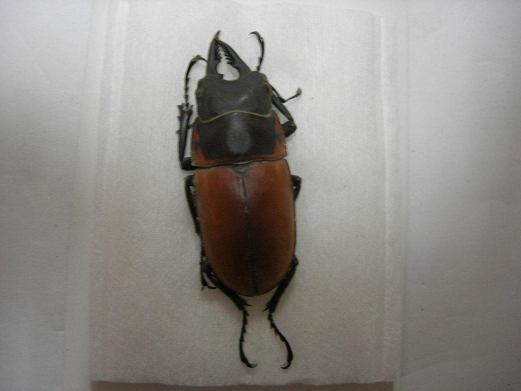 昆虫標本★イリアン産トラグルスノコギリクワガタ♂41.5ミリ_画像3