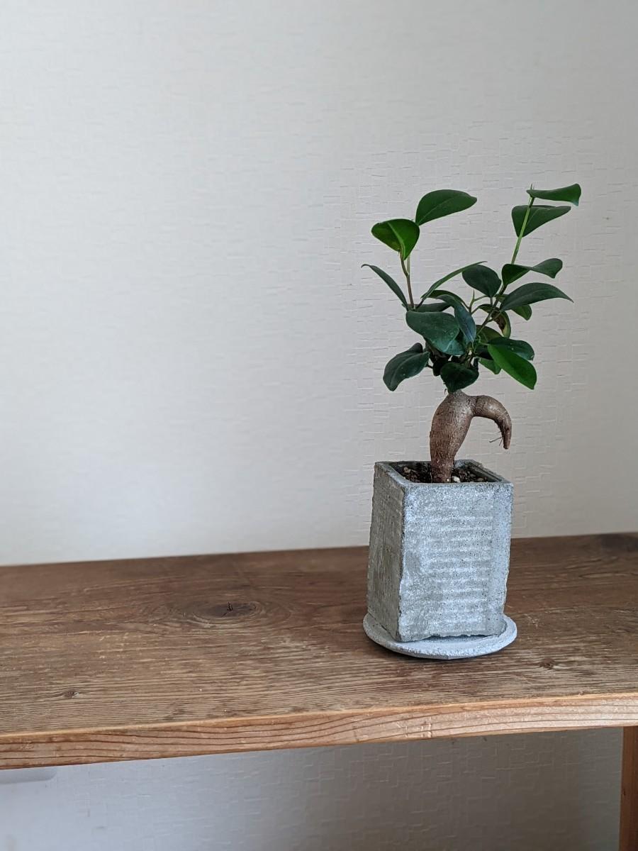 ガジュマルの木 セメント植木鉢、受皿付き