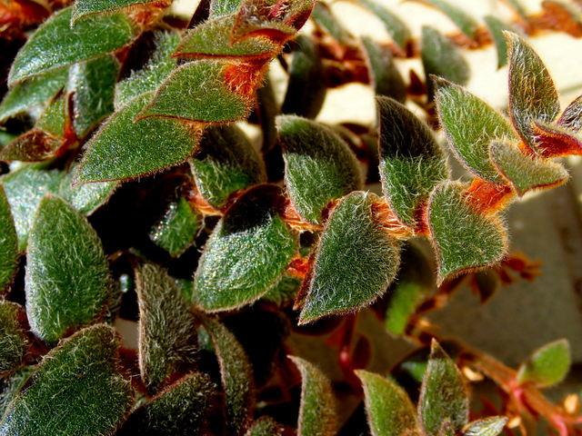 △s∩d▽ 【黒いツユクサ:C.kewensis:その1】シダ・多肉植物・観葉植物・珍種・原種・野生ラン. △▽ _けっこう寒さには強い(5度まで)