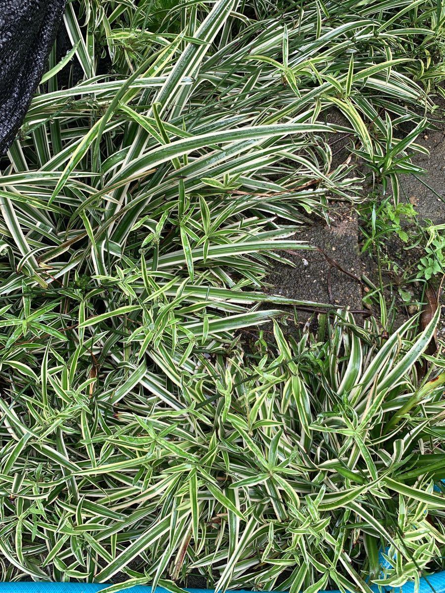 オリヅル蘭(折鶴蘭)の苗  5株