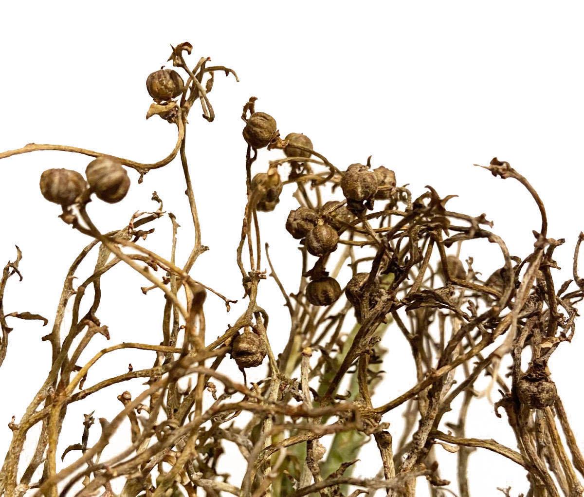 ユーフォルビア リグノーサ 種子 5粒 Euphorbia Lignosa (検 パキプス パキポディウム グラキリス ウィンゾリー チタノタ ドルステニア_画像4