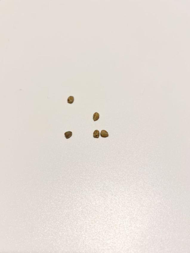 ユーフォルビア リグノーサ 種子 5粒 Euphorbia Lignosa (検 パキプス パキポディウム グラキリス ウィンゾリー チタノタ ドルステニア_画像2