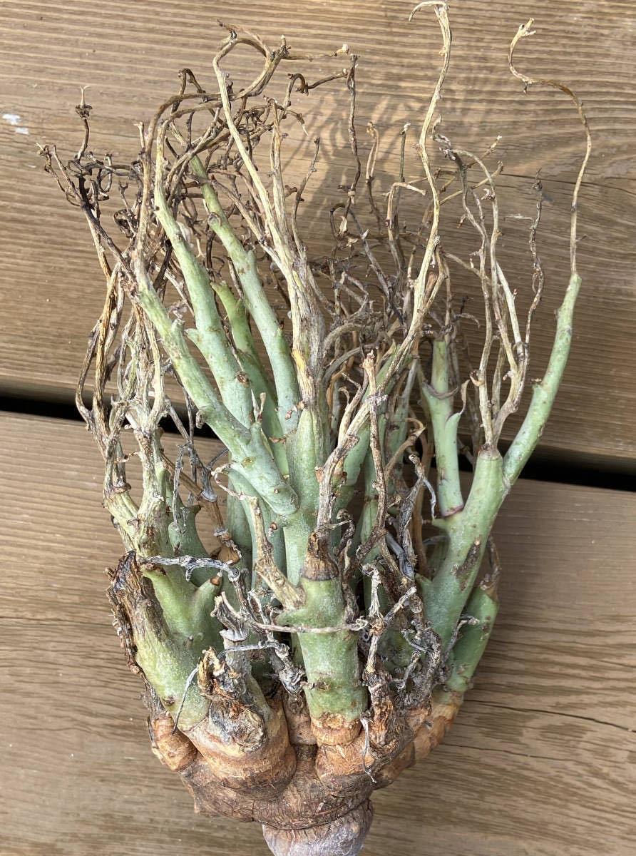 ユーフォルビア リグノーサ 種子 5粒 Euphorbia Lignosa (検 パキプス パキポディウム グラキリス ウィンゾリー チタノタ ドルステニア_画像3