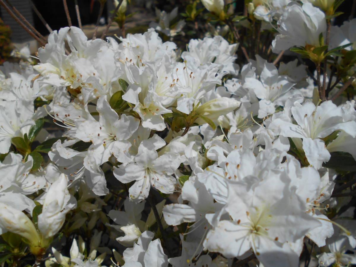 古木の風格ある品 白花キリシマツツジ 花芽いっぱいのボリューム株 10 来年用_画像1