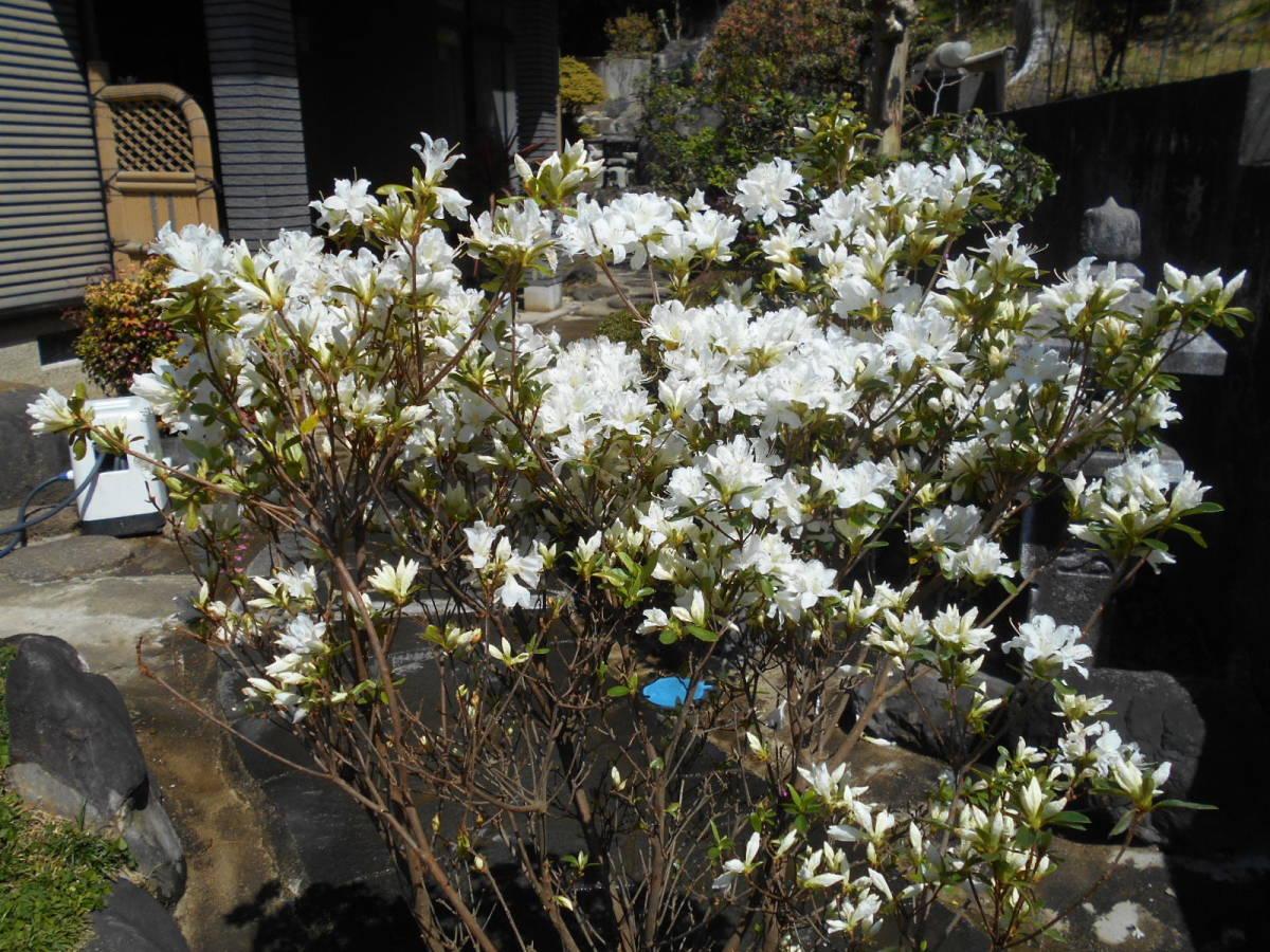 古木の風格ある品 白花キリシマツツジ 花芽いっぱいのボリューム株 10 来年用_画像3
