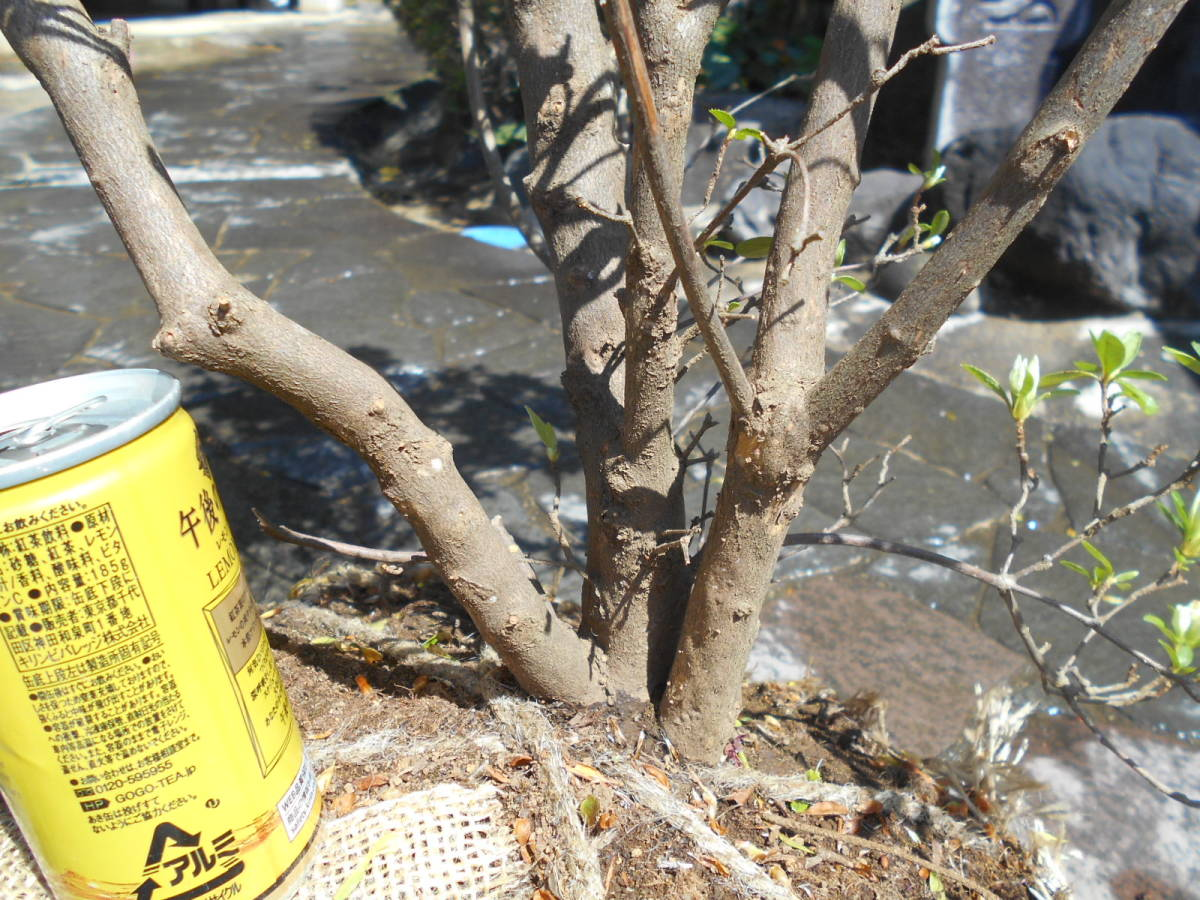 古木の風格ある品 白花キリシマツツジ 花芽いっぱいのボリューム株 10 来年用_画像4