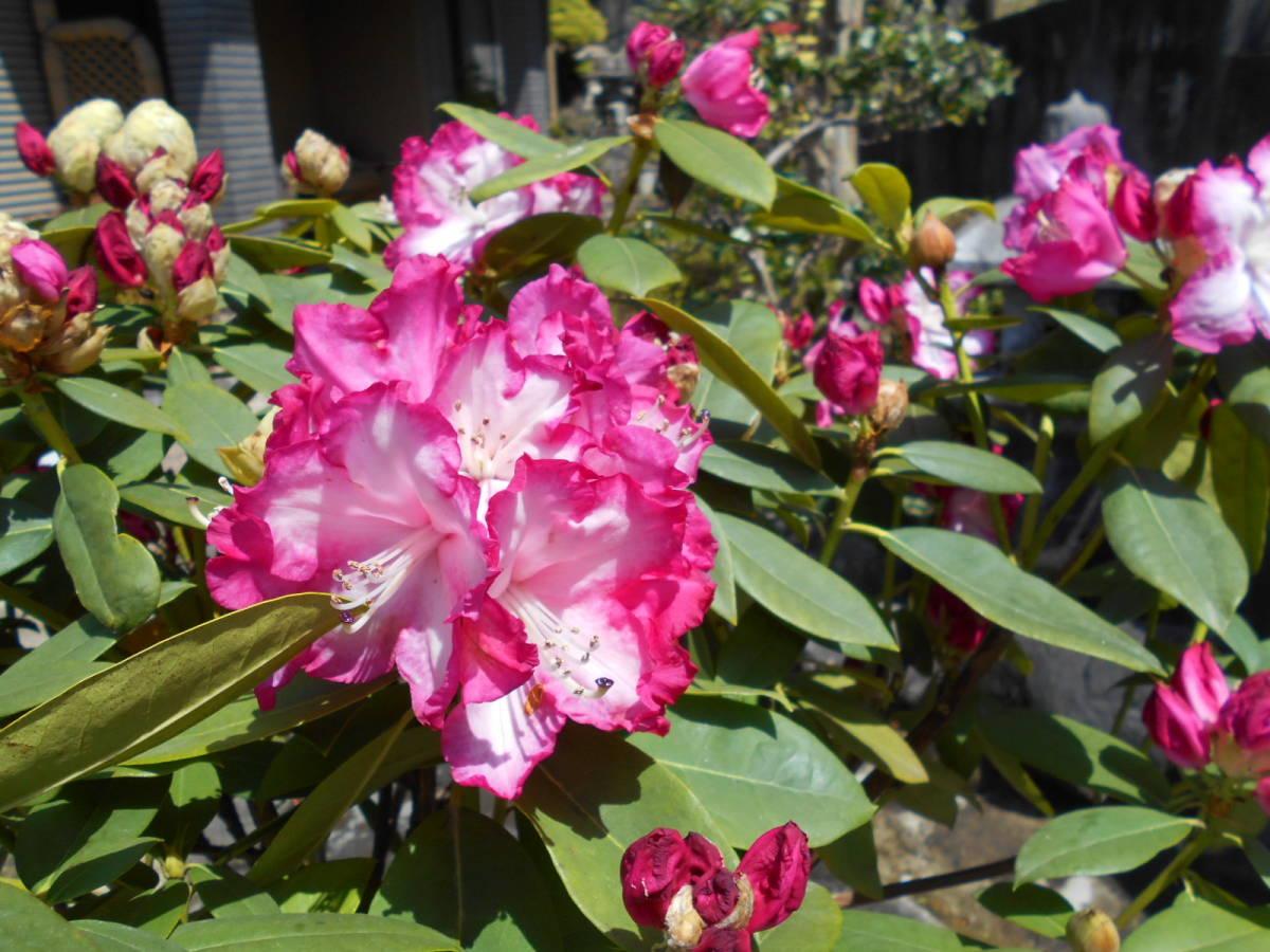 西洋シャクナゲ リージェント 珍しい縁取り咲き 蕾もたっぷりボリューム株 花終わり来年用_4/20