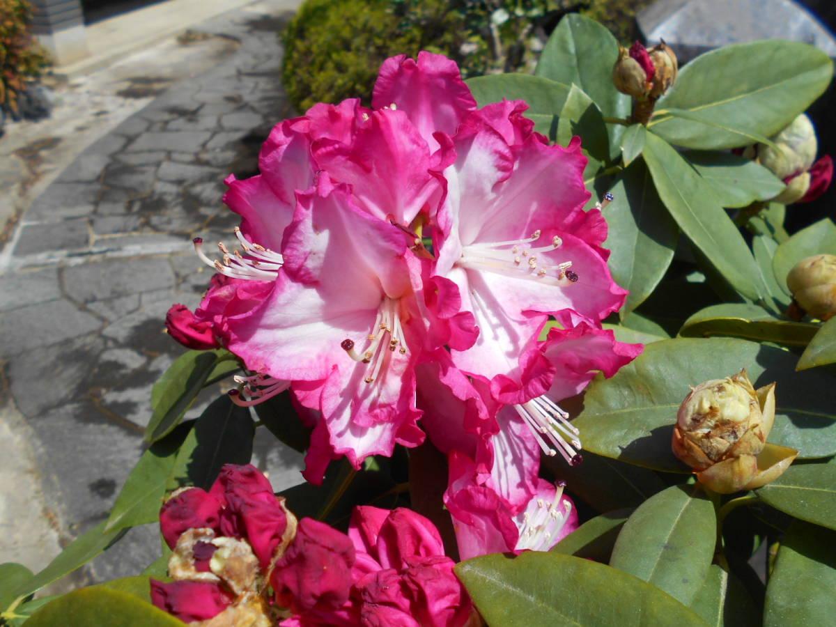 西洋シャクナゲ リージェント 珍しい縁取り咲き 蕾もたっぷりボリューム株 花終わり来年用_画像3