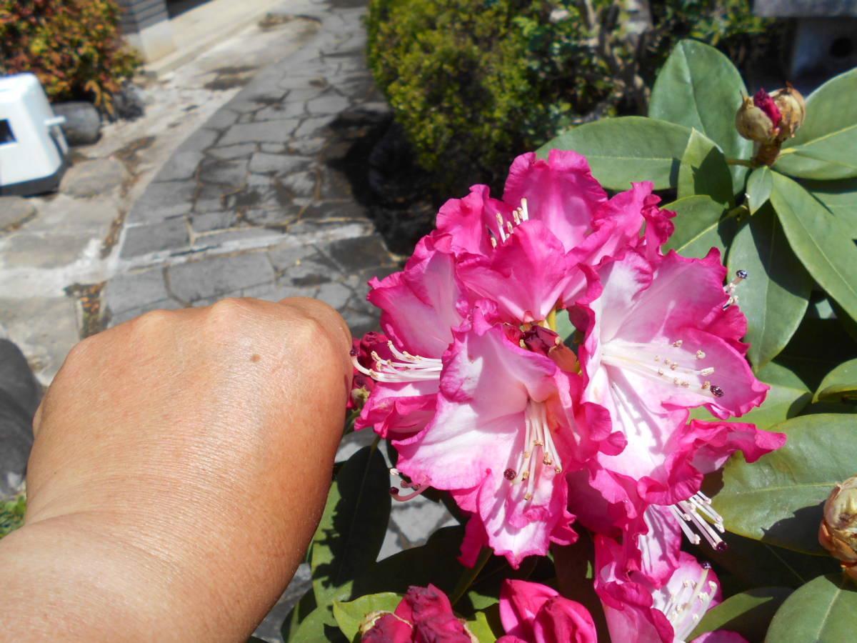 西洋シャクナゲ リージェント 珍しい縁取り咲き 蕾もたっぷりボリューム株 花終わり来年用_画像4