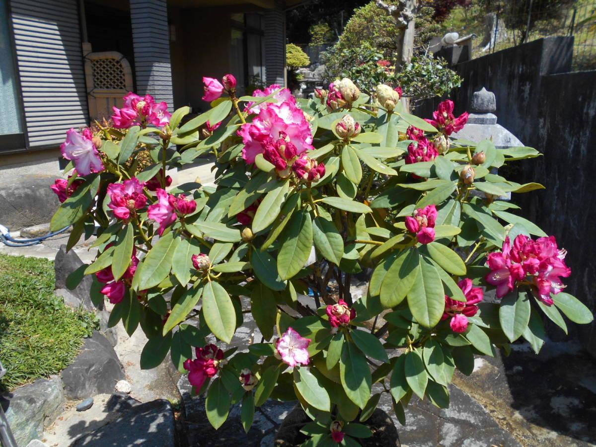西洋シャクナゲ リージェント 珍しい縁取り咲き 蕾もたっぷりボリューム株 花終わり来年用_画像5