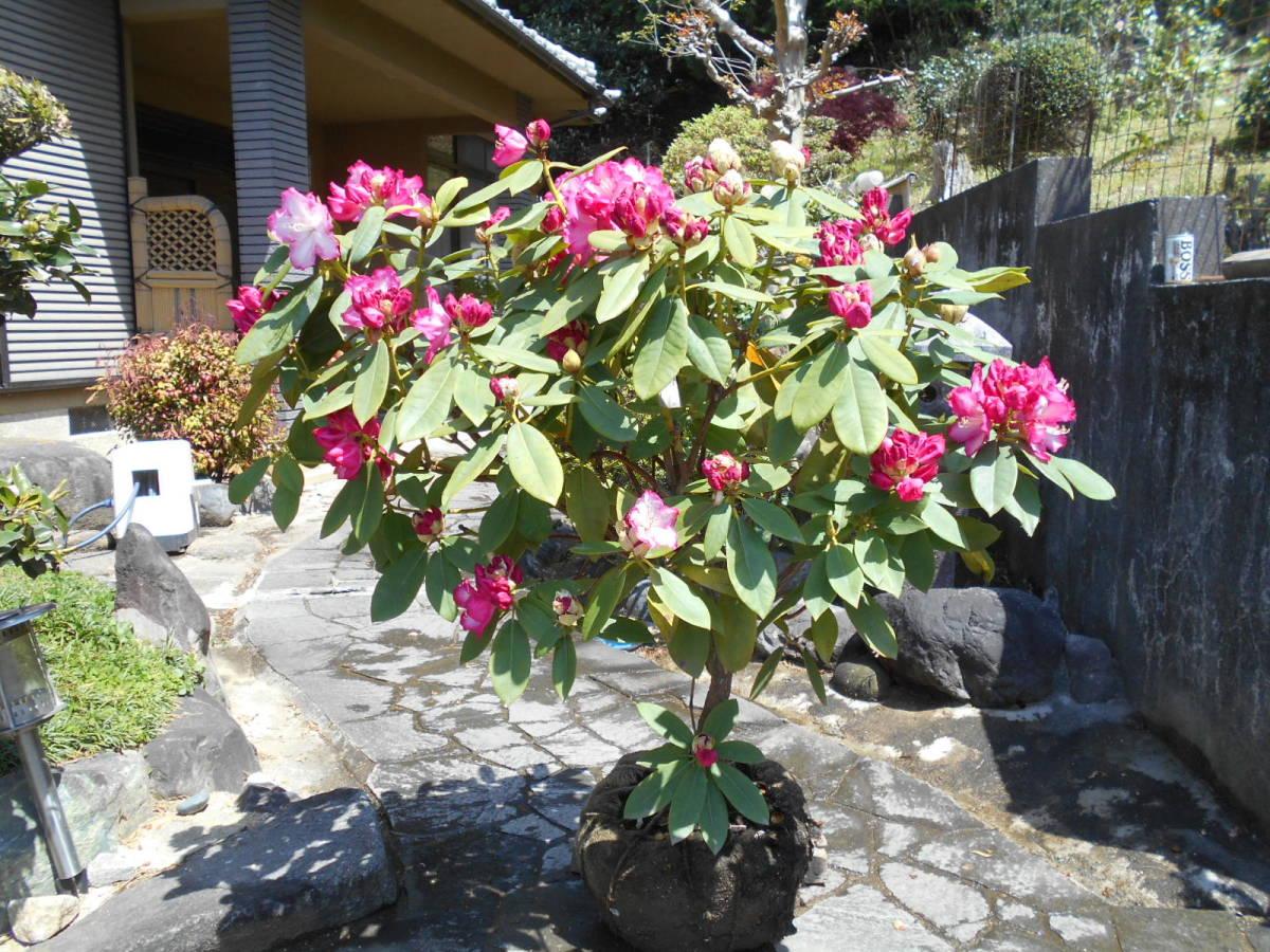 西洋シャクナゲ リージェント 珍しい縁取り咲き 蕾もたっぷりボリューム株 花終わり来年用_画像2
