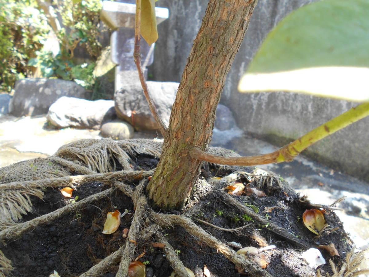 西洋シャクナゲ リージェント 珍しい縁取り咲き 蕾もたっぷりボリューム株 花終わり来年用_画像6