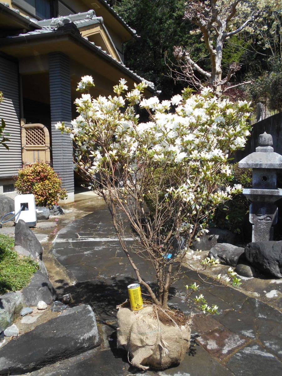 古木の風格ある品 白花キリシマツツジ 花芽いっぱいのボリューム株 10 来年用_4/10