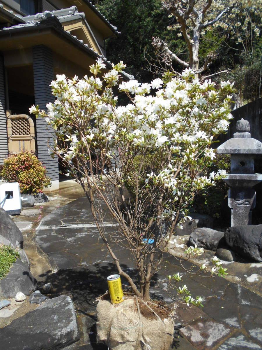 古木の風格ある品 白花キリシマツツジ 花芽いっぱいのボリューム株 10 来年用_画像5