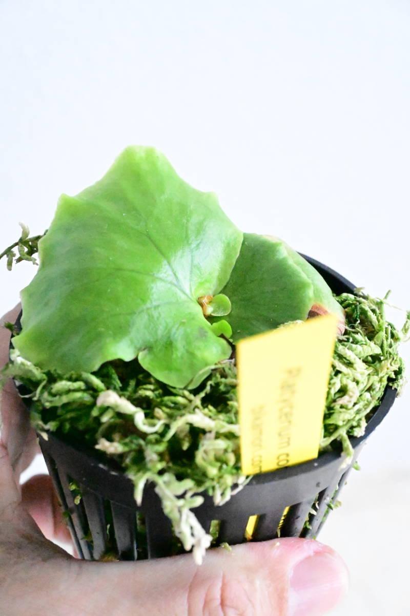 P.coronarium Thin frond② @bikamori.com コロナリウム ビカクシダ