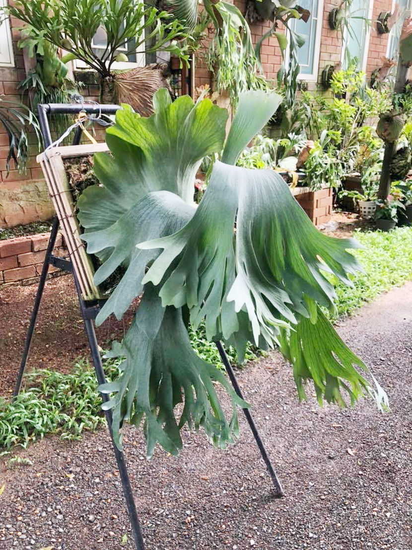 P.Silver Velvet (P.elephantotis X P.willinckii)②  @bikamori.com シルバーベルベット ビカクシダ