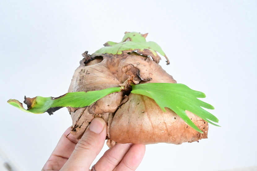 P.coronarium wild from Myanmar  @bikamori.com コロナリウム山採り株 ビカクシダ
