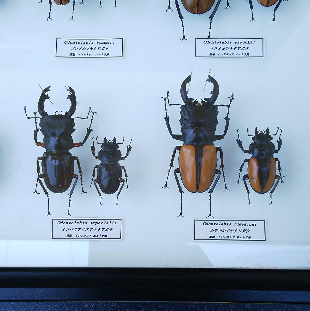 値段交渉OK 昆虫標本 クワガタ No3 28頭 ドイツ箱_画像10