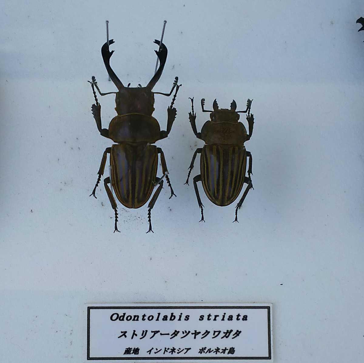 値段交渉OK 昆虫標本 クワガタ No3 28頭 ドイツ箱_画像5