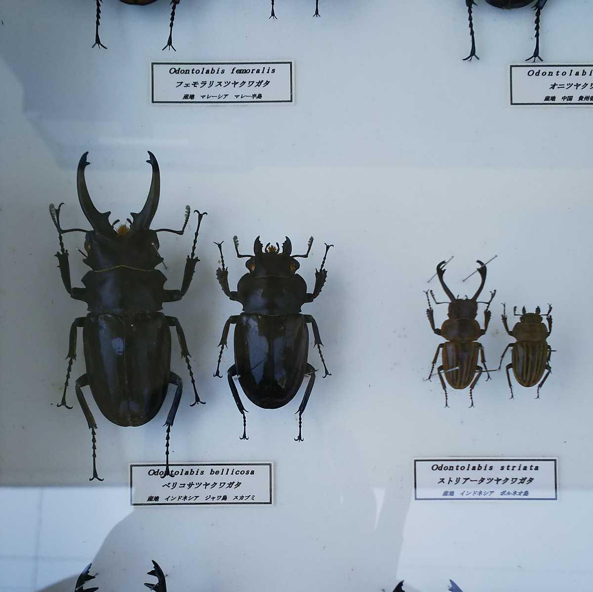 値段交渉OK 昆虫標本 クワガタ No3 28頭 ドイツ箱_画像4