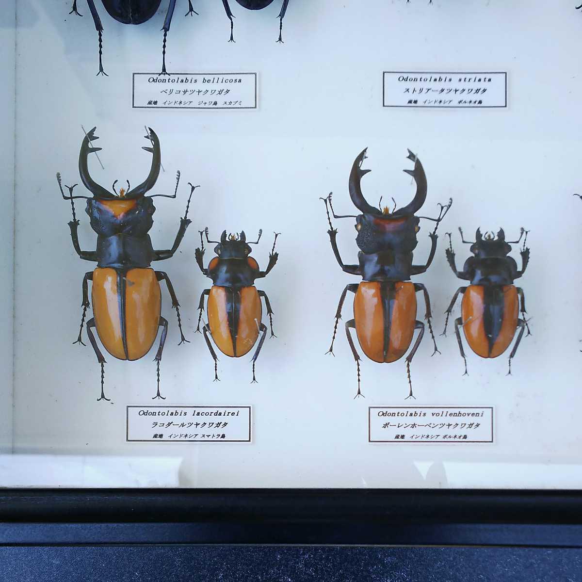 値段交渉OK 昆虫標本 クワガタ No3 28頭 ドイツ箱_画像8