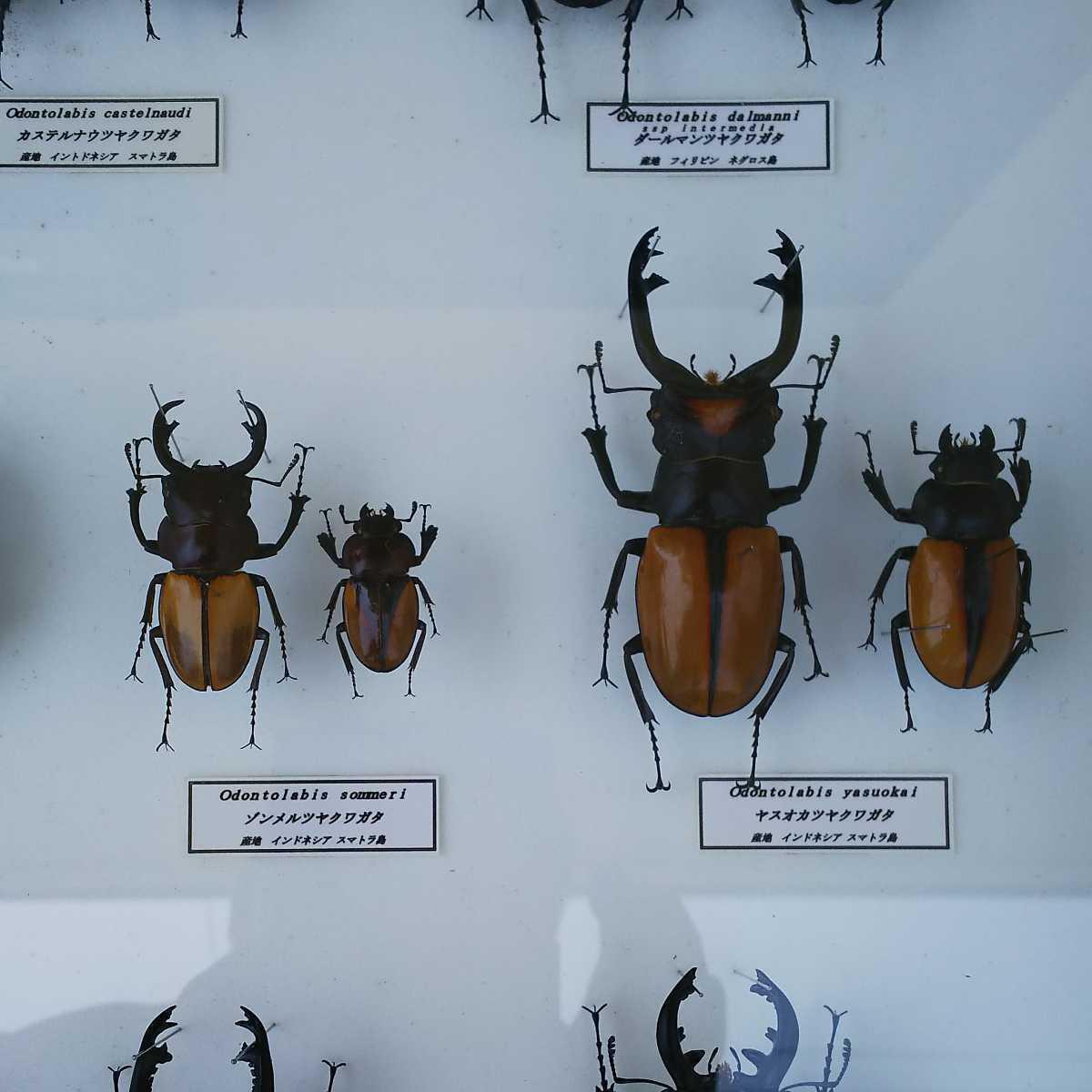 値段交渉OK 昆虫標本 クワガタ No3 28頭 ドイツ箱_画像7