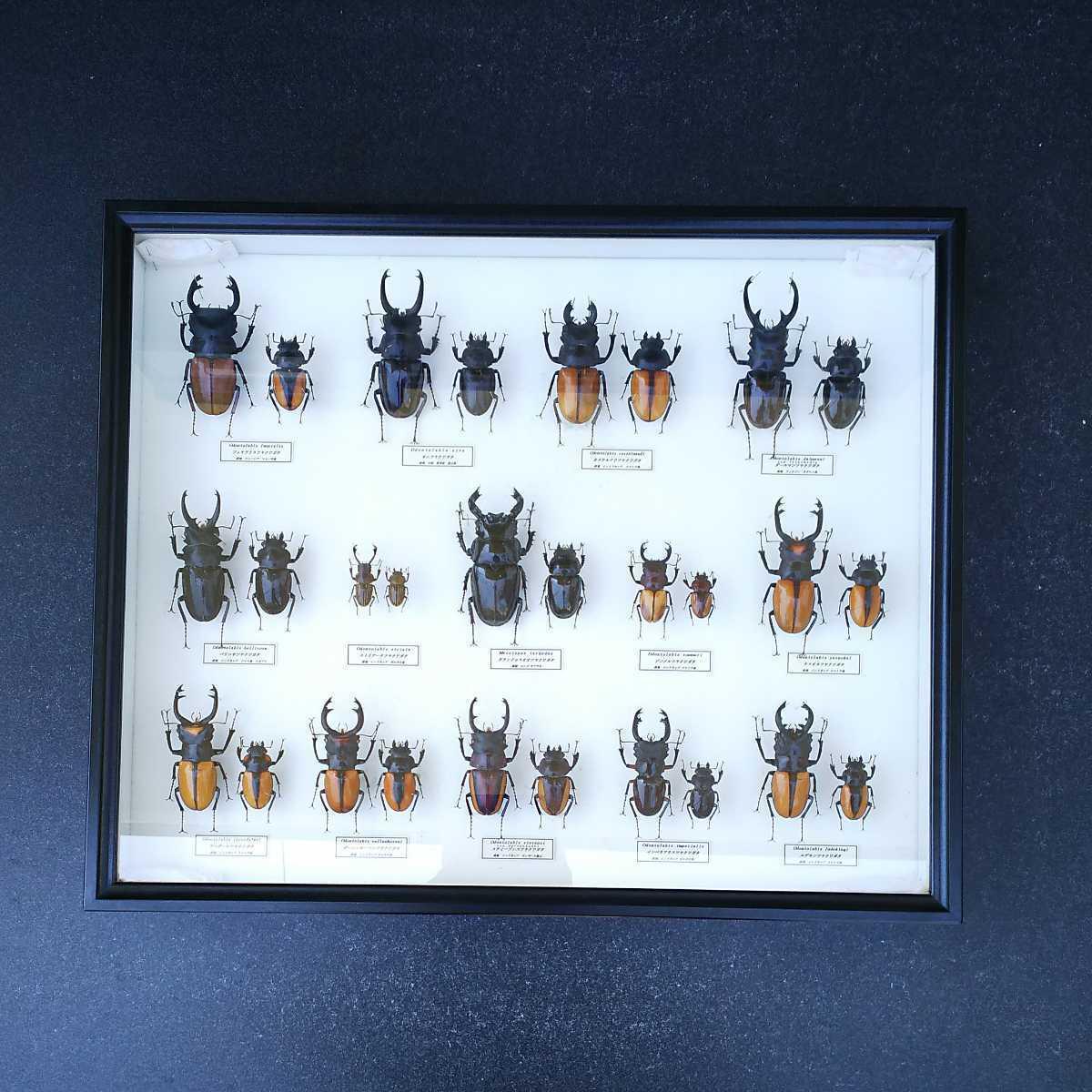 値段交渉OK 昆虫標本 クワガタ No3 28頭 ドイツ箱_画像1