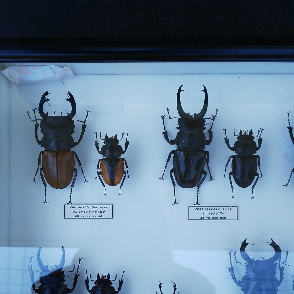 値段交渉OK 昆虫標本 クワガタ No3 28頭 ドイツ箱_画像2