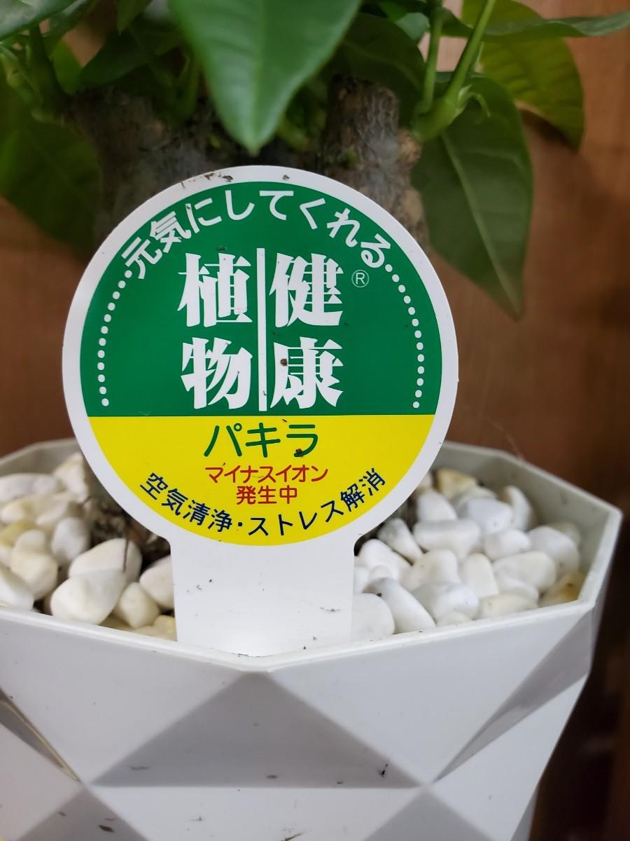 観葉植物『パキラ』