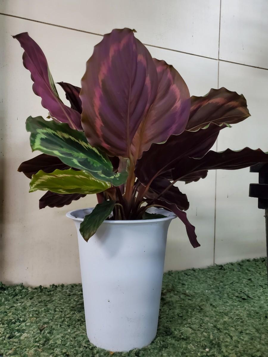 観葉植物『カラテア・メダリオン』