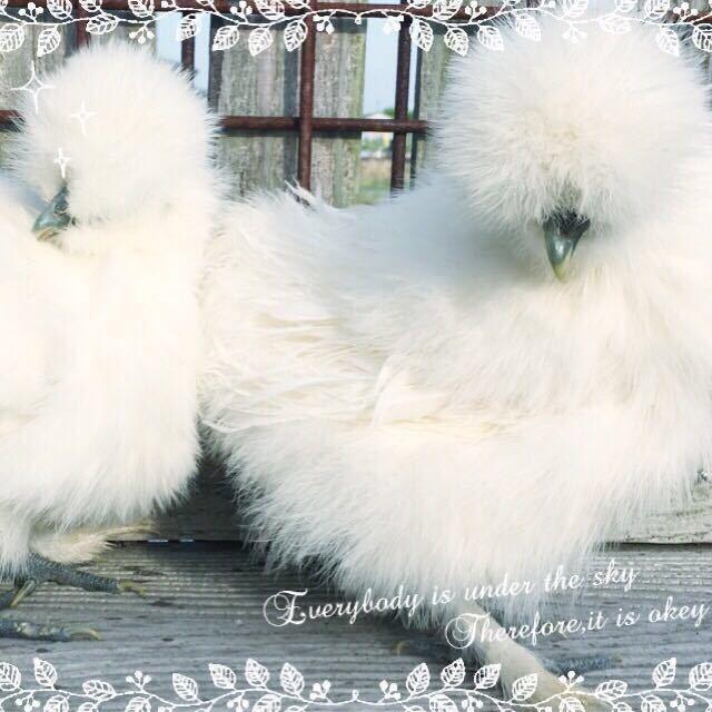 (即決)2~3日卵6個 モコモコ純粋烏骨鶏有精卵(割れ補償込み)_画像1